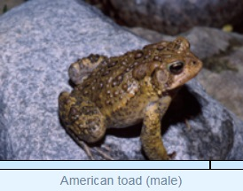 Image of American toad (male)