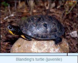 Image of Blanding's turtle (juvenile)