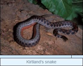 Image of Kirtland's snake