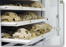Image of tiger skulls in a museum cabinet