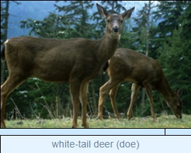 Image of Image of white-tail deer (doe)