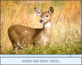 Image of white-tail deer (doe)