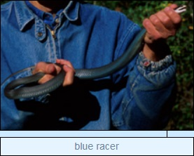 Image of blue racer