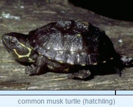 Image of common musk turtle (hatchling)