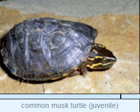 Image of common musk turtle (juvenile)