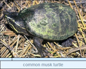 Image of common musk turtle
