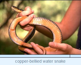 Image of copper-bellied water snake