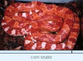 Image of corn snake