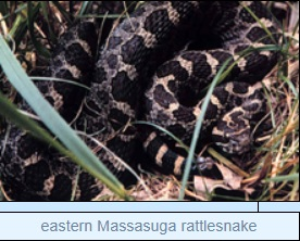Image of eastern Massasuga rattlesnake