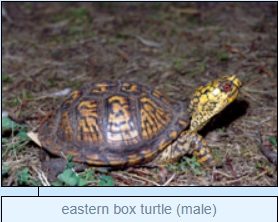 Image of eastern box turtle (male)