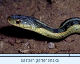 Image of eastern garter snake