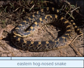 Image of eastern hog-nosed snake