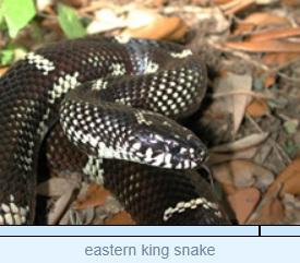 Image of eastern king snake