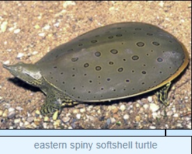 Image of eastern spiny softshell turtle