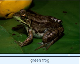 Image of green frog