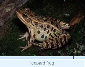 Image of leopard frog