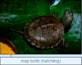 Image of map turtle (hatchling)
