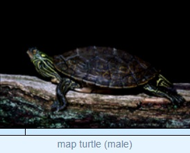 Image of map turtle (male)