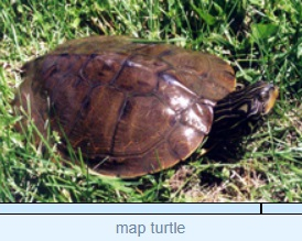 Image of map turtle