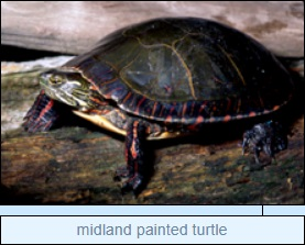 Image of midland painted turtle
