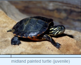 Image of midland painted turtle (juvenile)