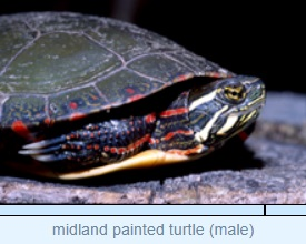 midland painted turtle (male)
