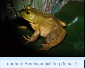 Image of northern American bull frog (female)