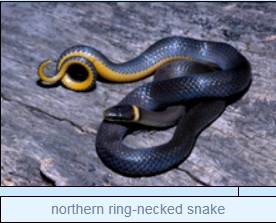 Image of northern ring-necked snake