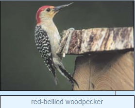 Image of red-bellied woodpecker
