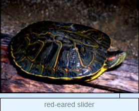 Image of red-eared slider