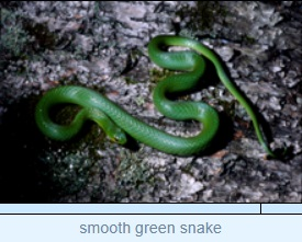 Image of smooth green snake