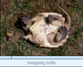 Image of snapping turtle