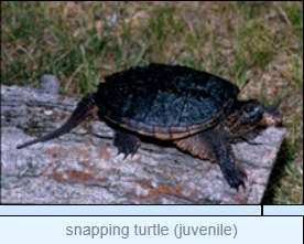 Image of snapping turtle (juvenile)