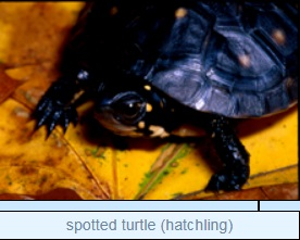 Image of spotted turtle (hatchling)