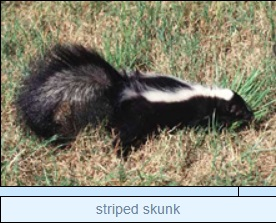 Image of striped skunk