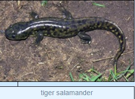 Image of tiger salamander