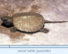 Image of wood turtle (juvenile)