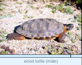 Image of wood turtle (male)