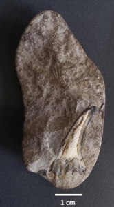tooth in a rock