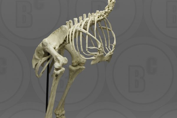 Elephant bird skeleton from Bone Clones, Inc.