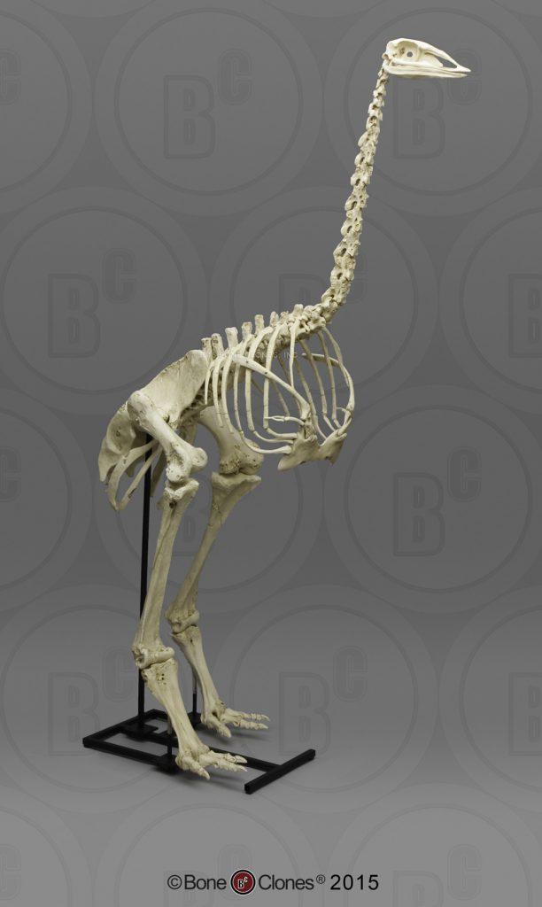 Elephant bird skeleton from Bone Clones, Inc.