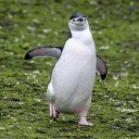 Chinstrap penguin walking on the ground