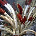 Deep sea riftia woms