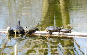 Turtles sharing a log. Photography by Jim Harding