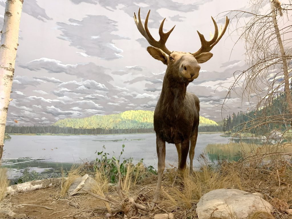 Boreal Forest - Moose