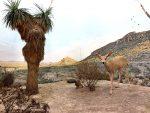 Desert - Mule Deer
