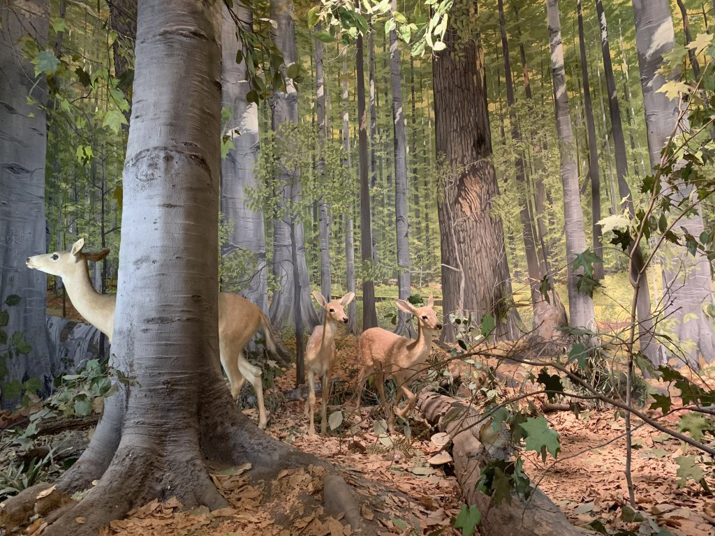 Eastern Deciduous Forest - Whitetail Deer