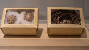Bird eggs in storage boxes in museum exhibit