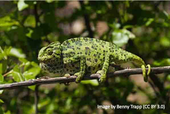 Chameleon in shades of green with patterns grasping a branch
