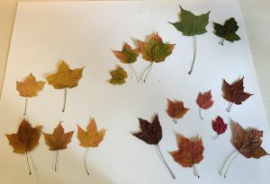 Green, yellow, and red maple leaves on a white board